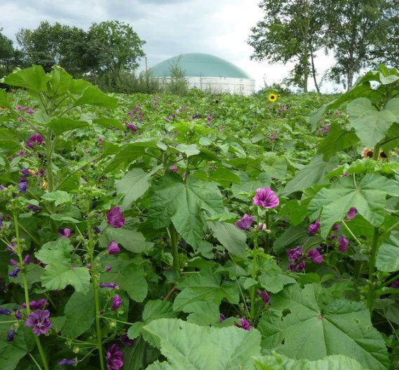 Nicht nur Biogasanlagen, auch konventionelle Kraftwerke lassen sich mit Biomasse betreiben. Dabei erreichen die besten Wildpflanzen-Mischungen an den für sie günstigsten Standorten 60 - 80 Prozent der Biomasseerträge von Mais.