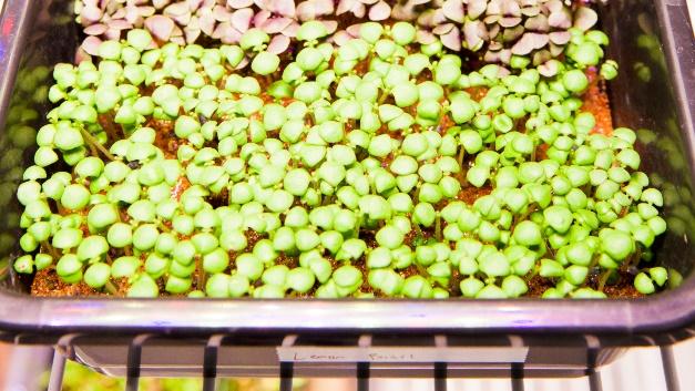 Salat im Weltall: Die NASA erforscht die Produktion von Salatkulturen im Weltraum und kooperiert dafür mit Osram.