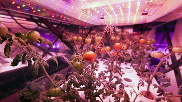Licht steuert das Pflanzenwachstum. Den genauen Einfluss erforscht die NASA in Gewächshäusern im Kennedy Space Center in Kalifornien.