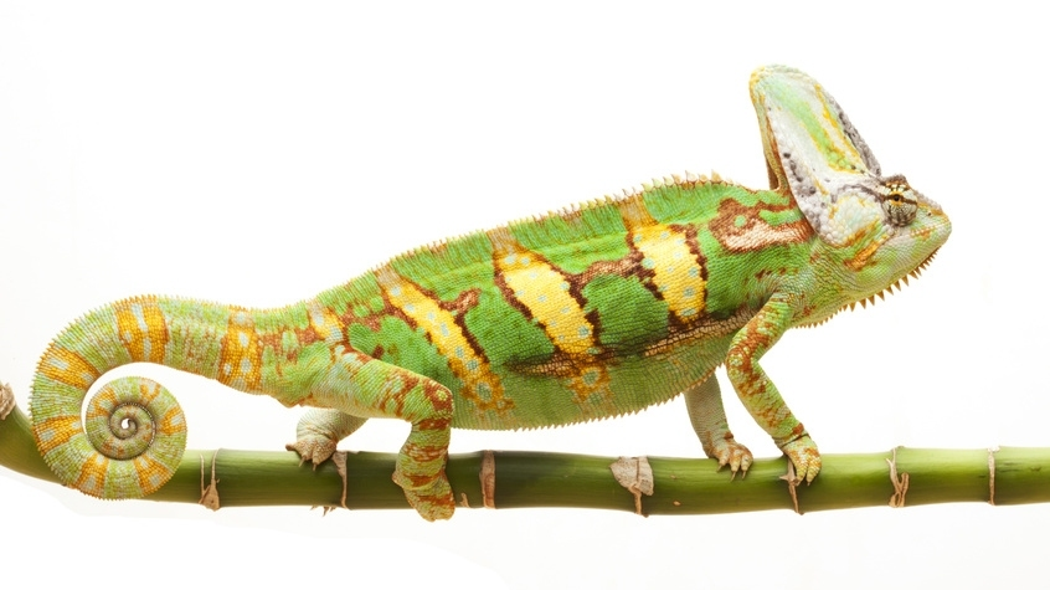 Chamäleons können ihre Farbe wechseln, sie nutzten diese Fähigkeit zur Kommunikation mit ihren Artgenossen