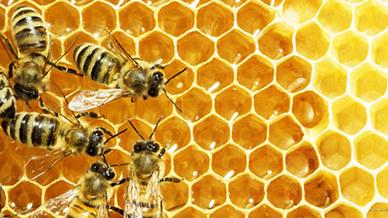 Bienen in einem Wabennest