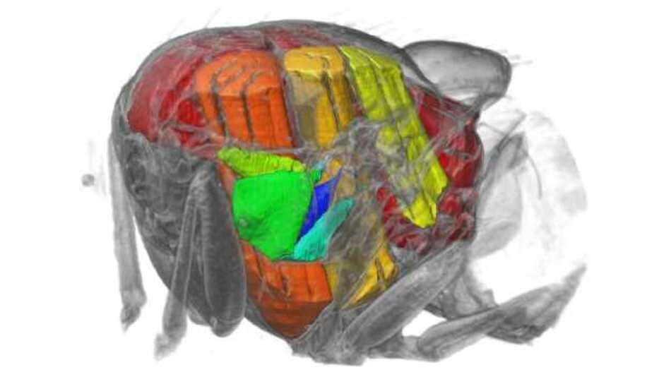 Das Innere des Brustkorbs der Fliegen. Sichtbar sind die fünf untersuchten Steuermuskeln (grün bis blau) und die Kraftmuskeln (gelb bis rot)