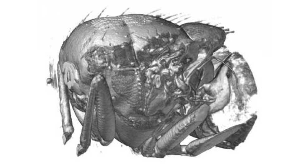 Außenansicht der Burstkorbs der untersuchten Fliegen