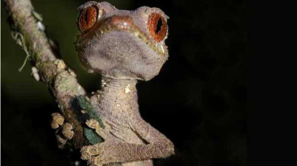 Er stand den Wissenschaftlern des KIT Modell für die Entwicklung des selbstreinigenden Klebebandes: Der Blattschwanzgecko (Uroplatus phantasticus)