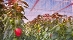 Tiefrote LED fördert Pflanzenwachstum