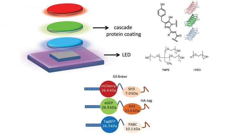 Erstmals konnten im Labor drei Typen von Fluoreszensproteinen in einer stabilen Gelform im Mehrschichtverfahren (cascade coating) für eine Hybrid-WLED genutzt werden. UV-Licht wird so in blaues, grünes und rotes Licht konvertiert.