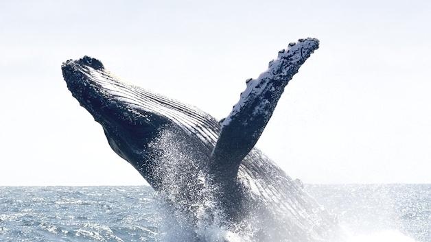 Die in Millionen von Jahren strömungstechnisch optimierten Brustflossen der Buckelwale sind Vorbild für die neue Ventilatorgeneration