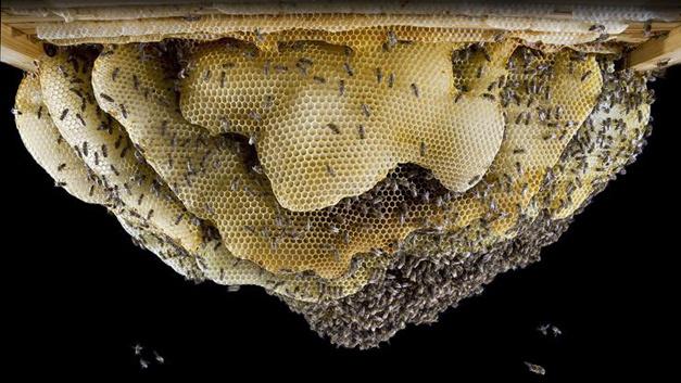 Ansicht eines frei gebauten Bienennests.