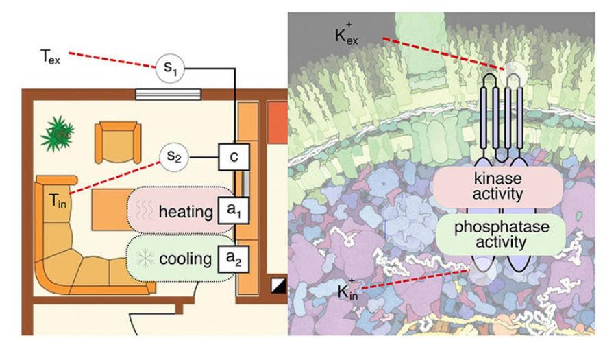 Mit einer robusten Doppelstrategie regelt das Bakterium E. coli seinen Kaliumhaushalt. Ganz ähnliche Strategien gibt es in der modernen Mess- und Regeltechnik.