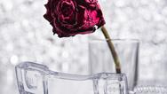 Rose & Telefon