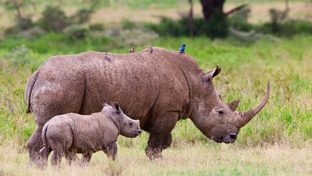 Low-Power-IoT-Sensoren von Sigfox sollen zum Nashorn-Schutz beitragen