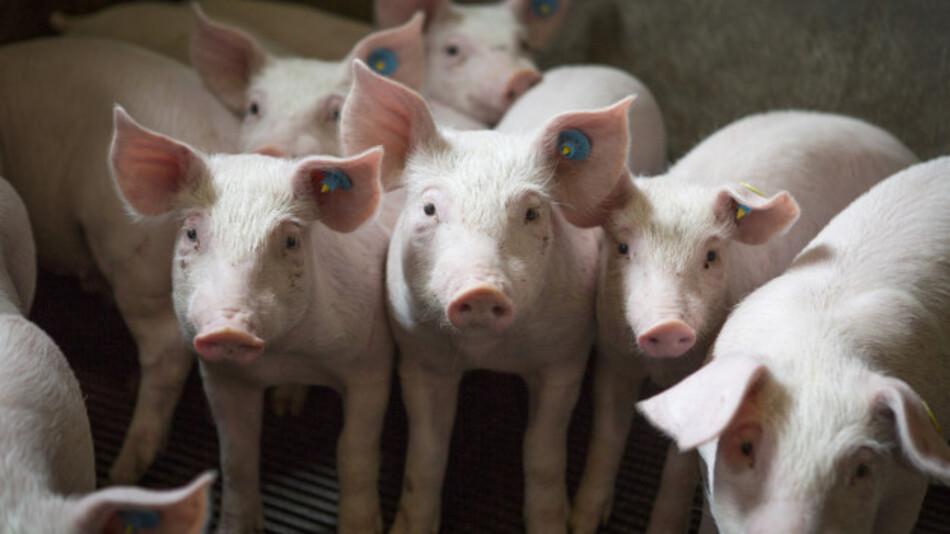 Es sind doch immer wieder die Schweinezyklen
