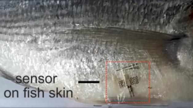Der winzige Sensor haftet selbst an Fischhaut