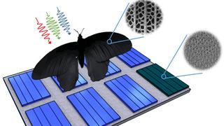 Nanostrukturen auf dem Flügel von Pachliopta aristolochiae lassen sich auf Solarzellen übertragen und steigern deren Absorptionsraten um bis zu 200 Prozent