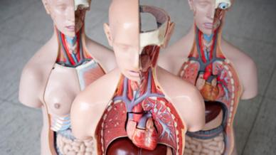 Das Anatomische Modell eines Menschen mit Leber und Herz, aufgenommen in der Medizinischen Hochschule Hannover (MHH).