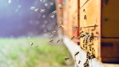 Bienen fliegen zu einem Bienenstock.