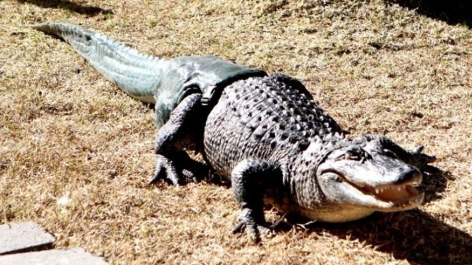 Mittlerweile verhält sich der Alligator, wenn ihm eine Schwanzprothese anschnallt wird, so natürlich, als wäre sie schon immer da gewesen.