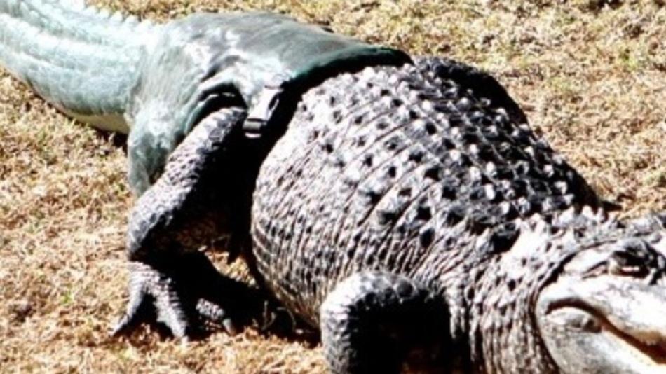 Mittlerweile verhält sich der Alligator mit seiner angeschnallten Schwanzprothese so natürlich, als wäre sie schon immer da gewesen.