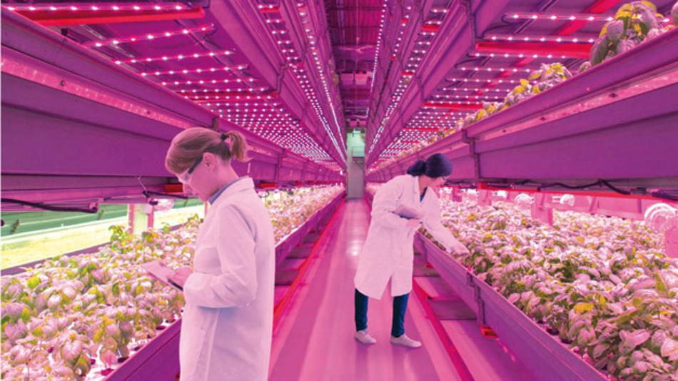 Die Lichtkonsistenz der Beleuchtung und die Homogenität sind neben der Menge des abgegebenen Lichts pro Pflanze wichtige Faktoren, um ein gleichmäßiges Wachstum zu gewährleisten und die Erträge zu synchronisieren.