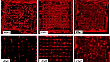 So breiten sich die Zellen in der 3D-Struktur aus: Links Woche 1, Mitte Woche 3, rechts Woche 5. Oben eine dreidimensionale Anordnung, unten eine einzelne Schicht