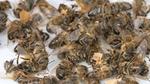 Bienensterben durch 5G?