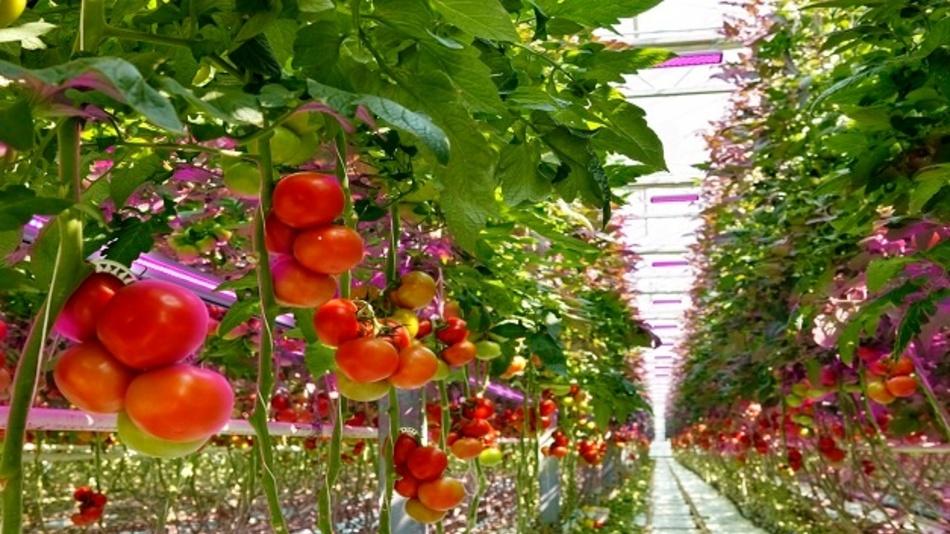Osram-Technik hilft dort nach, wo das natürliche Tageslicht nicht ausreicht und unterstützt damit die Produktion frischer Lebensmittel auch auf begrenztem Raum.