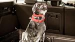 Der Hund nach dem Vorbild eines Labradors war in einer Hundebox im Gepäckabteil eines Ford Focus Turnier untergebracht.