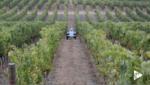 Robo-Winzer kultiviert Trauben mittels KI